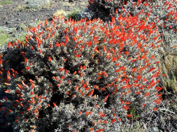 Parque nacional Torres del Paine, fleurs printanières (neneo)