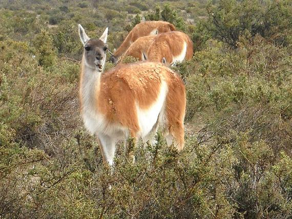 Guanacos de la steppe patagone, près de Puerto Madryn