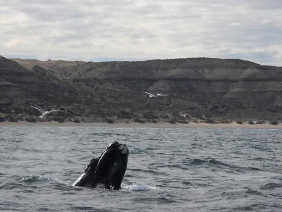 Une baleine franche australe à Puerto Piramides