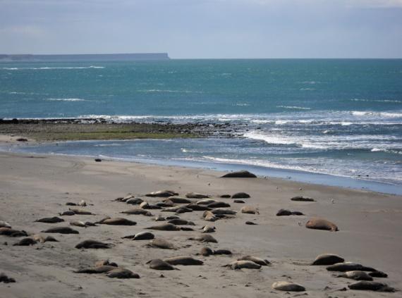 Peninsula Valdés - Colonie d'éléphants de mer