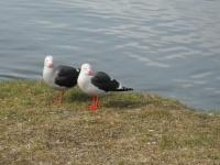 Ushuaia - Un couple de goélands de Scoresby
