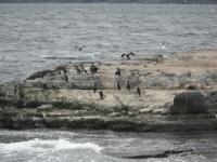 Le canal de Beagle, au sud de la Terre de Feu, cormorans