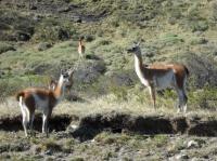 Parque nacional Torres del Paine, guanacos sauvages