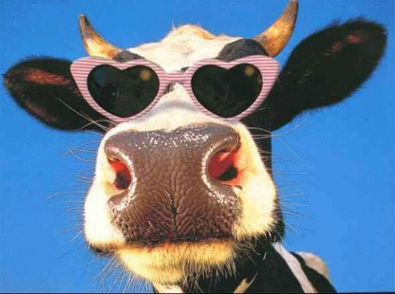 vache_lunette
