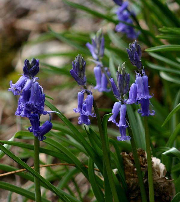 jacinthe des bois  FLEURS SAUVAGES IDENTIFIEES  ~ Fleurs Des Bois
