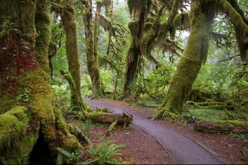 800px-forks_wa_hoh_national_forest_trail