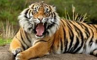 tiger-live-wallpaper-034963-h900