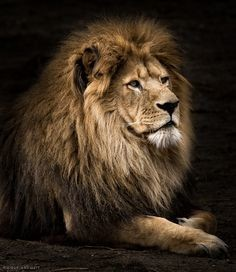 e7532a43f9dfb12078de971f196145a1--leo-the-lions-lion-photography