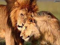 familia-de-leon,-amor-del-leon-150098