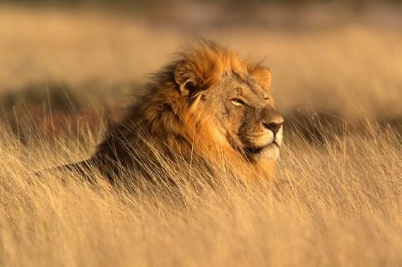 lion-foto