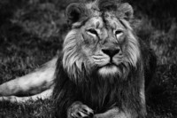 lion-black-and-white
