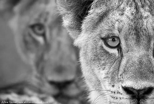 Okavango Lion cubs