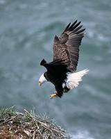 fc6ef185c3b7a034fed75d5217e483de--free-photos-golden-eagle