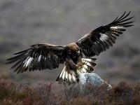 Scotlands_Big_5-3_Golden-Eagle
