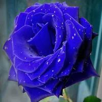 Azul-de-rosa-Azul-enchantress-de-100-gr-os-por-pacote