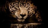jaguar-2894706_960_720