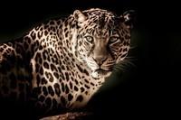 leopard-2895448_960_720
