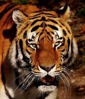 tiger-2895617_960_720