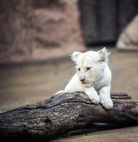 lion-2119447_960_720