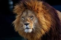 lion-3040797_960_720