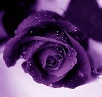 Purple-Roses-purple-21933067-500-477