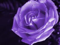 purple-rose-wallpaper_110913656
