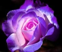 rose mauve lumière