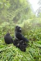 Gorilles dans la brume (25)