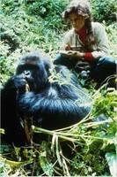 Gorilles dans la brume (0)