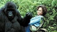 Gorilles dans la brume (3)