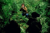 Gorilles dans la brume (4)
