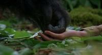 Gorilles dans la brume (7)