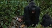 Gorilles dans la brume (17)