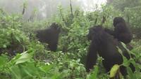 Gorilles dans la brume (19)