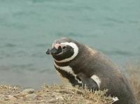 pingouin34