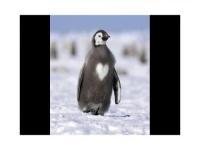 pingouin amoureux...