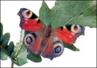 Papillon_paon_de_jour