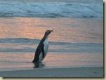 pingouin péninsule d'Otago