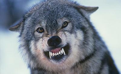 """Résultat de recherche d'images pour """"chien gris qui montre les crocs"""""""