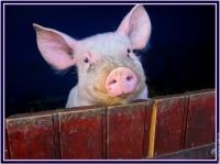 cochon bureau