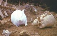 lapin blanc mangeur d'hommes!