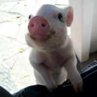 pitit cochon!!!!!!!!!!