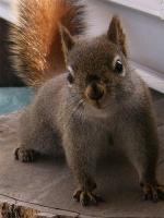 écureuil brun du canada,bas-st-laurent