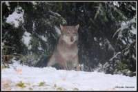 Loup parc alpha (photo denis simonin)