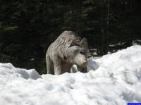 loup pas dangereux du tout