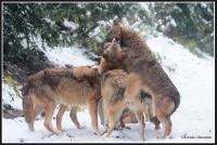 meute de loups gris, au parc alpha (photo denis simonin)