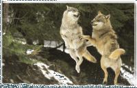loups font la nouba