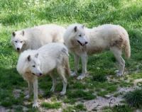 loups arctiques Amaruk pour les inuits