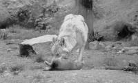 Louve et louveteau du gevaudan,ste lucie,photo patrick favaretto