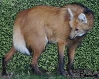 loup à crinière sud-americain